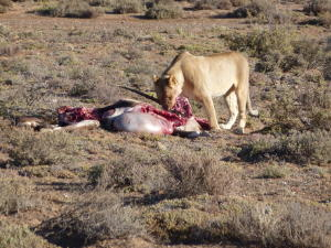 Lion eating Oryx