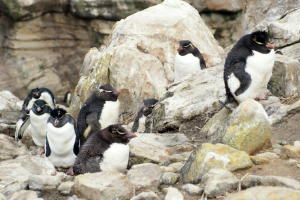 Rockhopper Penguins
