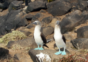 Dance of Blue-footed Boobies