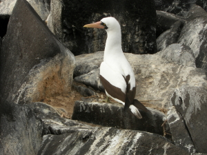 Nazca Booby on Nest