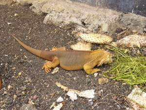 Land Iguana eating